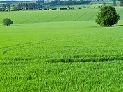 Green fields and tree (thumbnail)