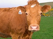 Close up of tagged cow standing in field