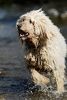 Pedigree Kaiser Poodle running through water, Wales