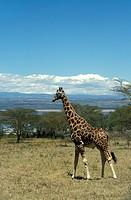 Rothschild Giraffe,Giraffa camelopardalis rothschildi,Nakuru Nationalpark,Kenya,Africa,adult male