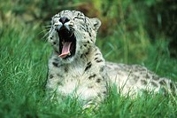 Snowy leopard, Uncia uncia, to cat, Jung´s animal, animal, beast, yawning, spotted with