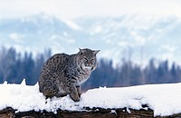 Bobcat,Lynx rufus,Montana,USA,adult in snow