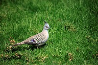 Crested Pigeon,Ocyphaps lophotes,Australia,adult on ground