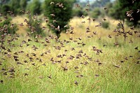 Redbilled Quelea,Quelea quelea,Kruger Nationalpark,South Africa,Africa,flock of birds flying,swarm of birds flying
