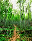 Bamboo forest in Beishan Cliff Statue area, Dazu County, Chongqing, China