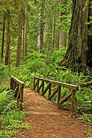 A bridge in Prairie Creek Redwoods State Park, Califonria