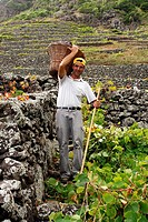 Grape harvest in Santa Maria island  Azores islands, Portugal