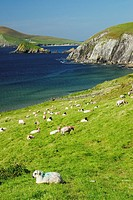 Sheep grazing in Dingle Peninsula  Ireland