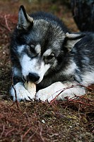A husky's chewing on a bone