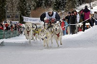 Huskies, International Sled Dog Race, Wallgau 2009, Upper Bavaria, Bavaria, Germany, Europe