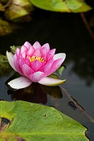Waterlily flower Nelumbo