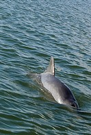 dolphin surfaces in tidal creek in SC