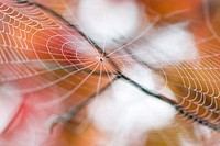 perfect spider web with red leaves