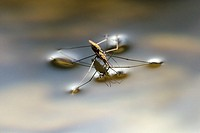 Aquarius najas, Water Striders mating, Wales