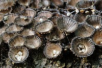Cyathus striatus, ´Bird´s Nest´ fungi, Wales.