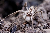Nursery web spider, Pisaura mirabilis carrying egg sac, Wales.