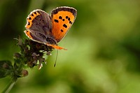 Small Copper butterfly, Lycaena phlaeas feeding on Catmint, Wales