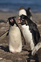 Gentoo penguins (Pygoscelis papua), Falkland Islands, South America