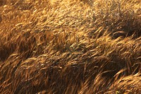 Photograph of wheat fields in Israel