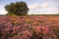 The Sun lighting up the Stunning displays of Heather on Westleton Heath Suffolk
