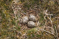 Nest and Eggs of Oystercatcher Haematopus ostralegus North Uist Western Isles Scotland