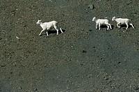 Dall´s Sheep, ewe & lambs, White Sheep, Ovis dalli
