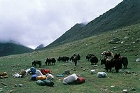 Travling in Tibet with Yaks