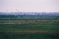 Photograph of cranes in the Chula reservation in the Upper Galilee