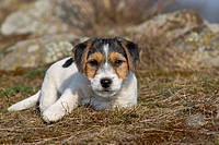 Jack Russell Terrier puppy lying in a meadow