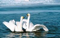 whooper swan Cygnus cygnus, courting couple, Japan, Hokkaido
