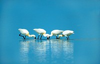 white spoonbill Platalea leucorodia, four fishing individuals, Austria, Burgenland