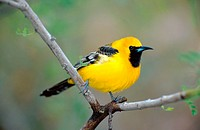 hooded oriole Icterus cucullatus, single bird on a twig, USA, Arizona