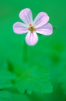 herb robert Geranium robertianum, blossom, Germany