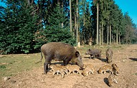 wild boar, pig, wild boar Sus scrofa, sow with piglets and two semiadult boars