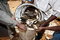 Fish catch being packed into bag at Lagdo Lake, northern Cameroon, Africa