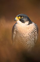peregrine falcon Falco peregrinus, portrait, United Kingdom, Scotland, Highlands, Strathspey