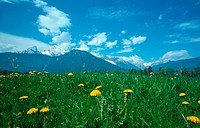 meadow with common dandelion, Germany, Bavaria, Berchtesgaden