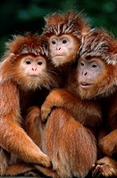 silvered leaf monkey Presbytis cristata, three individuals sitting tightly together