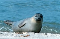 harbor seal, common seal Phoca vitulina, lying at beach, Germany, Schleswig_Holstein, Heligoland