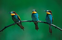 European bee eater Merops apiaster, three individuals sitting side by side on lookout, Hungary