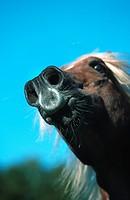 domestic horse Equus przewalskii f. caballus, portrait , Germany
