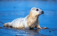gray seal Halichoerus grypus, calf, Germany