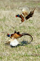 common pheasant Phasianus colchicus, two cocks fighting.
