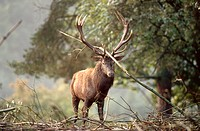 red deer Cervus elaphus, stag carrying knot at its antlers, Germany, Saxony, Oberrabenstein, Sep 02.