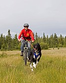 Labrador mix pulling a mountain bike, woman bikejoring, dog sport, dog mushing, dry land sled dog race, Yukon Territory, Canada