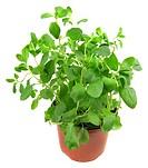 sweet marjoram, knotted marjoram Origanum majorana, Majorana hortensis, potted plant
