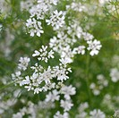 Coriander plant in flower Coriandrum sativum