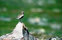 European golden plover Pluvialis apricaria, Norway