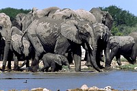 African elephant Loxodonta africana, elephant herd with calves at the waterhole, Namibia, Ovamboland, Etosha NP