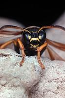 polistine wasp Polistes bischoffi, portrait